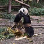 Dzień z pandami, czyli wizyta w Chengdu Research Base of Giant Panda Breeding.
