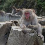 Jikogudani Yaen – Koen, czyli małpy w gorącej kąpieli.